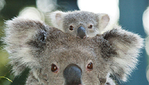 Billabong Koala and Wildlife Park - Inverell Accommodation