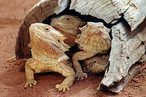 Alice Springs Reptile Centre - Inverell Accommodation